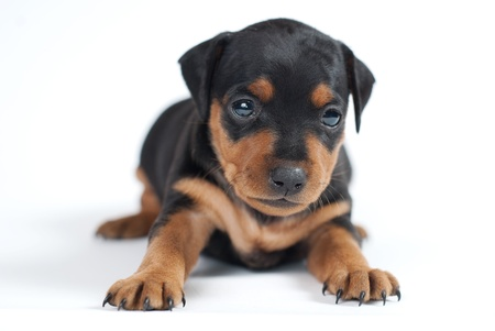 miniaturepinscher cute puppy Stock Photo - 12291548