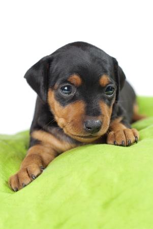 miniaturepinscher cute puppy Stock Photo
