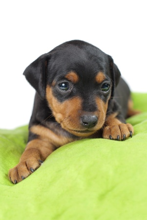 miniaturepinscher cute puppy Stock Photo