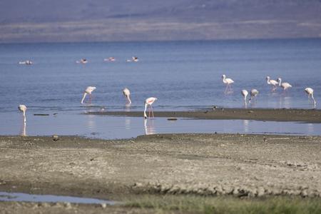 Flamingos at Lake Abeh bathroom in Djibouti