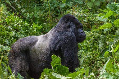 Relaxing Guhonda Silverback Gorilla full size Portrait