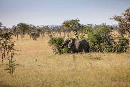 Elephant Bull out for an acacia rub in the Serengeti Stock Photo