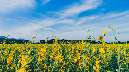 Yellow flower field known as sunn hemp with blue sky background