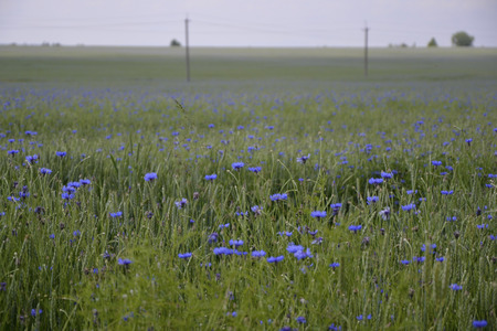 green wheat: Boundless cornflower field with green wheat, which extends to the edge of the sky, blueness