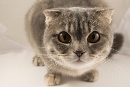 occhi grandi: Curioso gatto a strisce grigio con gli occhi grandi su uno sfondo bianco, riprese macro