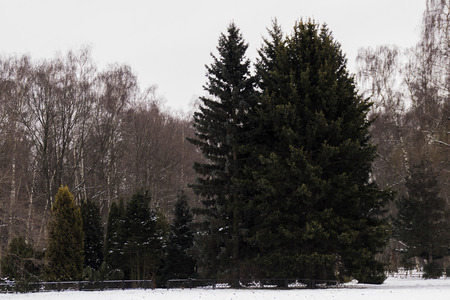 coniferous plants in winter against the forest