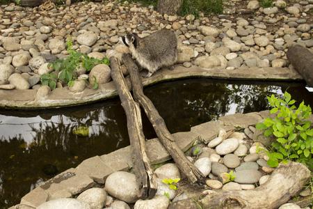 raccoon near the water