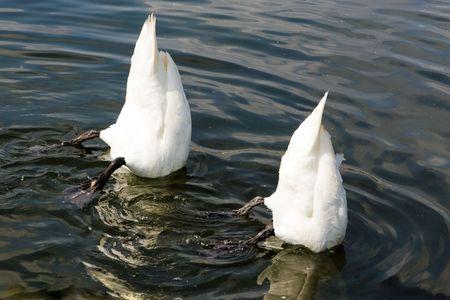 Top Down swan Stock Photo - 5530670