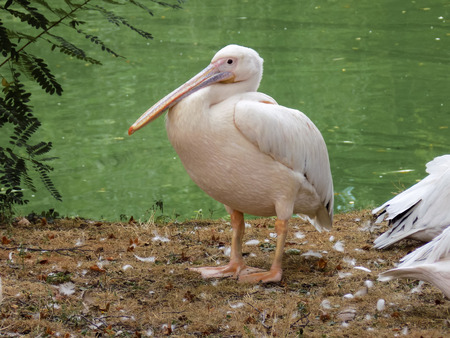 food fight: pelican at the zoo