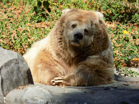brown: Himalayan Brown Bear Stock Photo
