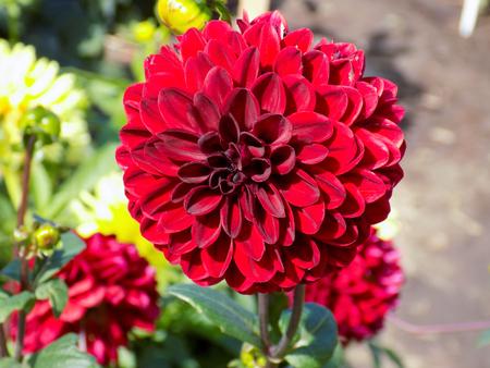 incarnadine: Red dahlia in garden Stock Photo
