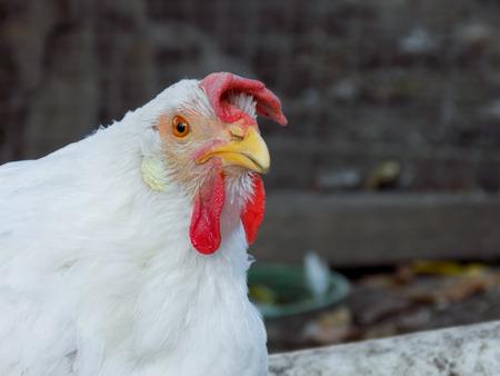 pullet: Portrait of a chicken