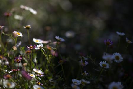 daisies contrast light
