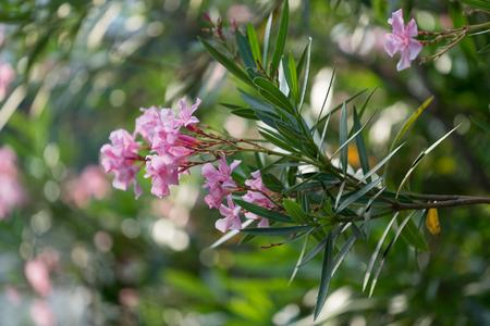 ボケ味を持つ緑背景をぼかした写真の緑豊かなブッシュに夾竹桃のピンクの花