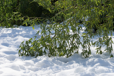 branches bowed bamboo lying on the white snow in a Sunny day