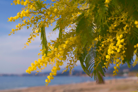 lush and bright the branches of acacia silver on the sea background in spring Sunny day Stock Photo