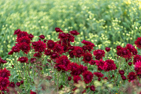 Floral background with a beautiful Burgundy chrysanthemums on the background of many small flowers.