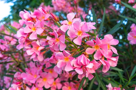 Pink flowers of oleander on a large bush stock photo picture and pink flowers of oleander on a large bush stock photo 104453843 mightylinksfo