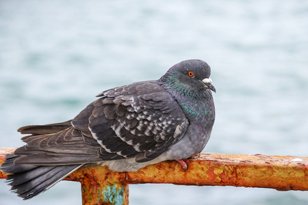 Large gray dove sitting on a rusty metal fence on the background of the water surface. The portrait of a bird. Banco de Imagens