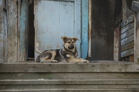 Dog sitting on the threshold of an old wooden house. Murmansk, Russia. Stock Photo