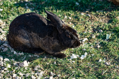 Rabbit with black-and-brown coat sits on green the grass on a glade in solar weather.