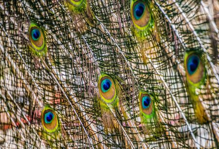 Background of the bright tail feathers of a peacock. Фото со стока