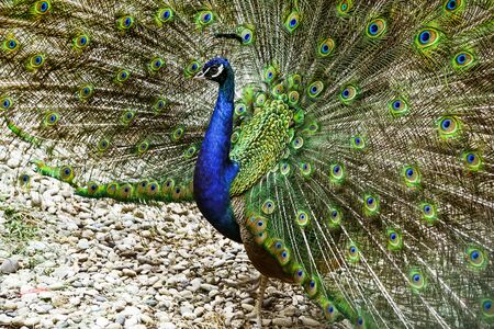 Portrait of a young peacock with an open tail. Beauty of nature.