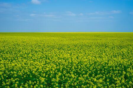 Rapeseed fields in Crimea. Beautiful scenery with yellow flowers.