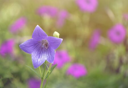 Small bouquet of tiny pink white and blue bluebell flowers showing steman anther and carpel stigma macro close-up select focus with blurry background and white vignette edges horizontal format