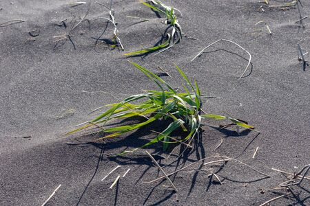 Grass on the background of black volcanic sand, Kamchatka