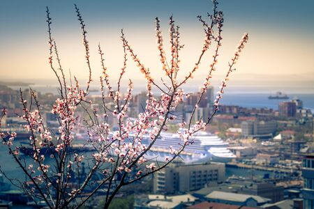 Blossoming cherry branches on a blurred background of pride and cruise . Vladivostok, Russia