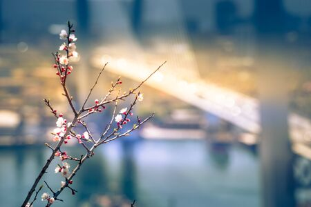 Blossoming cherry branches on the blurred background of the Golden bridge. Vladivostok, Russia 写真素材 - 132446301