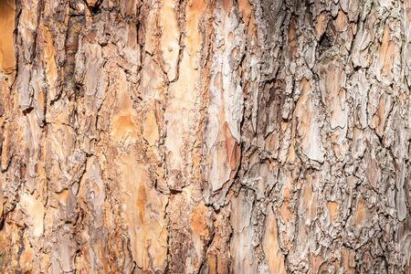 Natural background from the bark of a coniferous tree