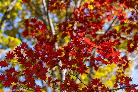 Red maple leaves against the sky. 写真素材 - 132768234