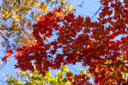 Red maple leaves against the sky. 写真素材 - 132773426