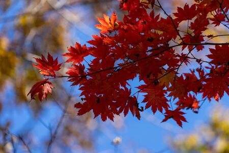 Red maple leaves against the sky. 写真素材