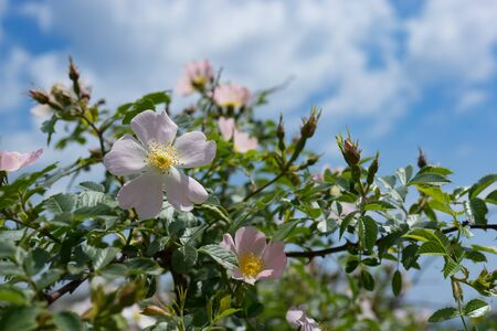 Pink wild rose flowers on background blue sky.