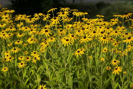 Flower bed with yellow flowers, beauty nature 写真素材
