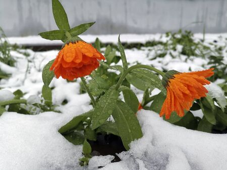 Orange calendula flowers with water drops on white snow background