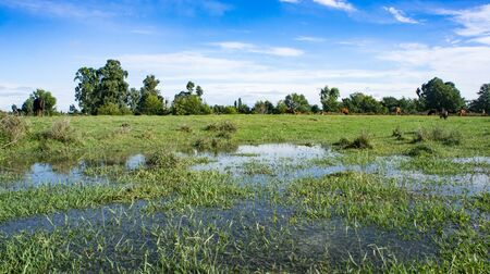 Natural landscape of a green field with puddles of water. 写真素材