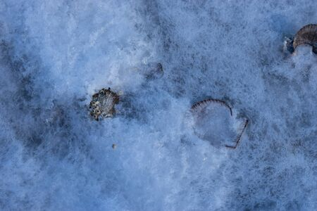 Scallop shells on a background of white ice
