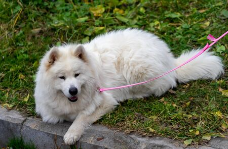 Portrait of a fluffy white dog lying on the grass. 写真素材