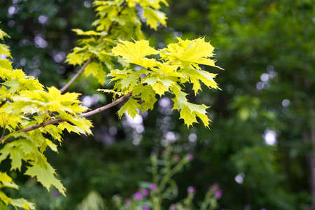 Blurred natural background with maple leaves.