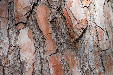 textured background of old pine wood, with large elements of bark and the resin drips