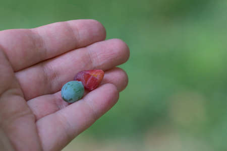 The fruit of the plant Podocarpus in the palm of the person and the blurred green background