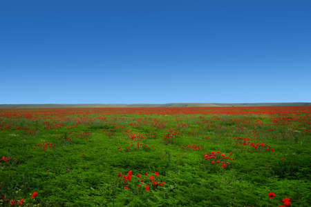 Natural landscape with red poppies on a field under a blue sky.