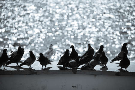 White dove among the black pigeons sitting on the stone surface on a blurred background of sparkling sea Reklamní fotografie