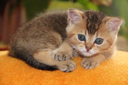 chinchilla: kitten Golden chinchilla with blue eyes