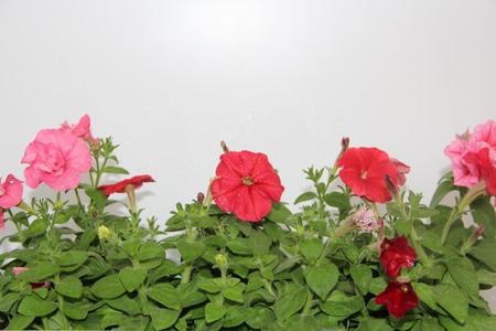 petunias: flowers pink and red of petunias
