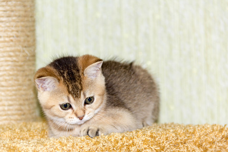 gold color: kitty gold color is seen around the scratching posts Stock Photo